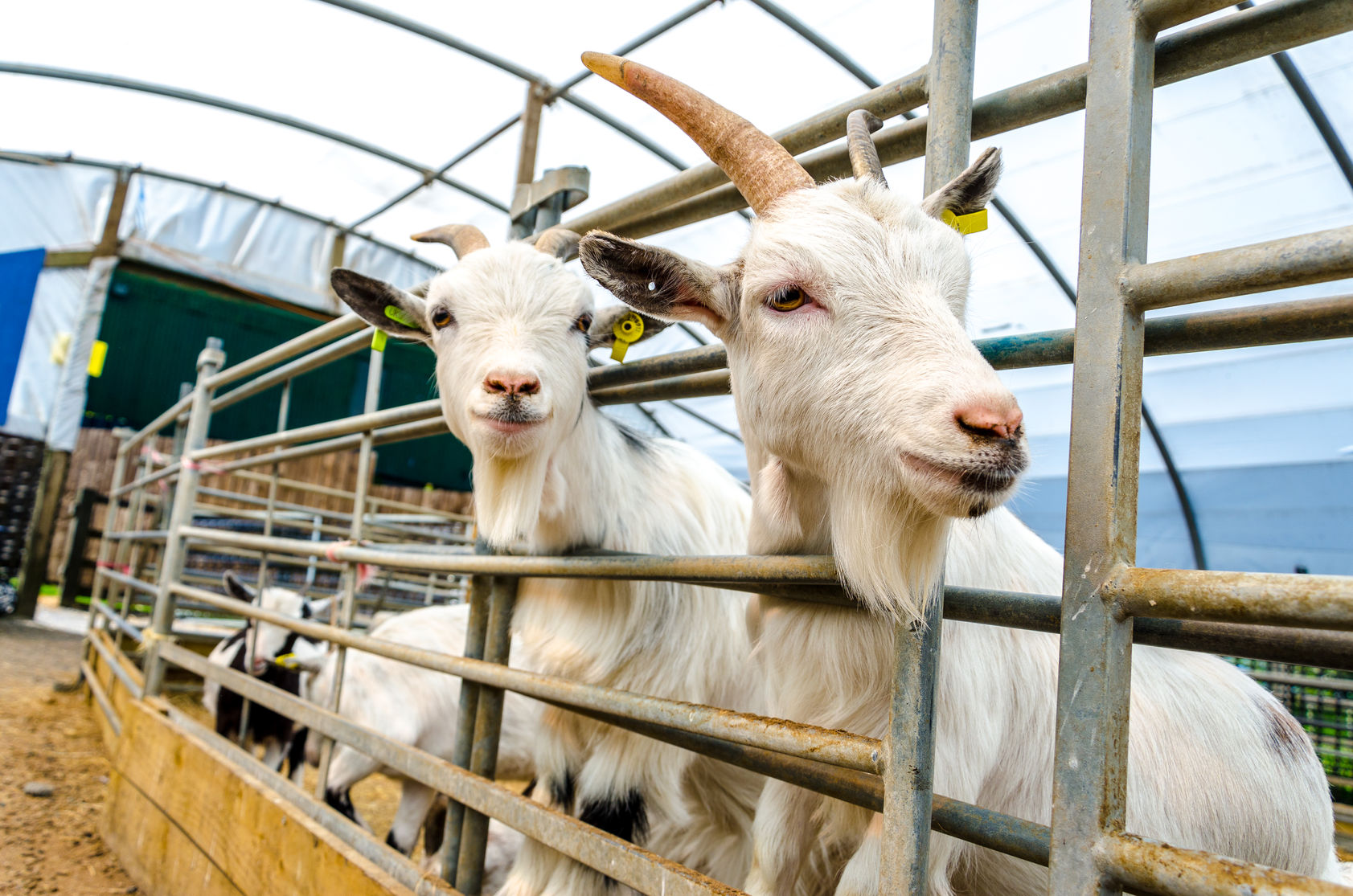 SweetPro® for Goats